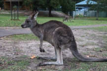 Kangourou ou Wallaby?